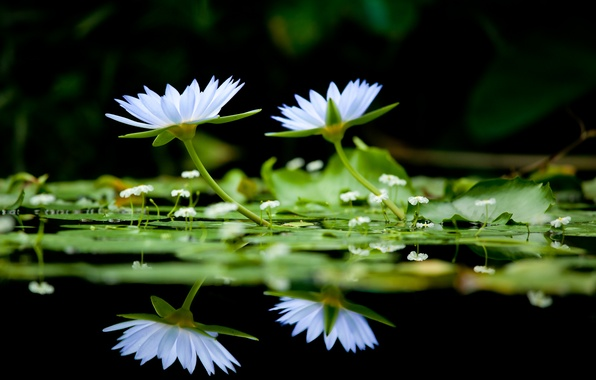 Picture flowers, lake, background, black, color, water lilies