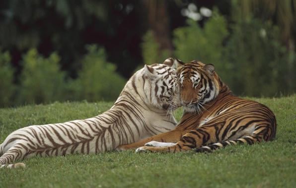 Picture love, predator, pair, tigers, wild cat