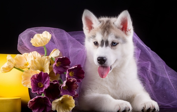 Picture flowers, puppy, fabric, husky