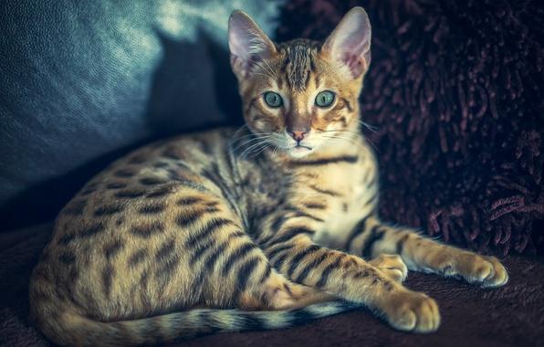 Picture cat, look, cat, Bengal, bengal