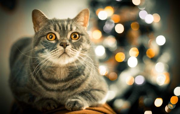 Picture cat, look, yellow, cat, bokeh