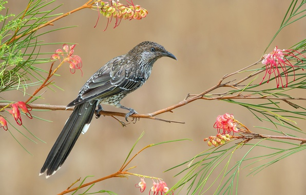 Picture leaves, flowers, bird, branch, feathers, beak, tail, surikaty honeyeater
