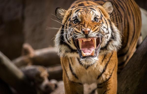 Picture tiger, grin, evil, roar