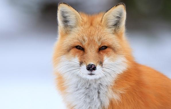 Picture portrait, Fox, Fox
