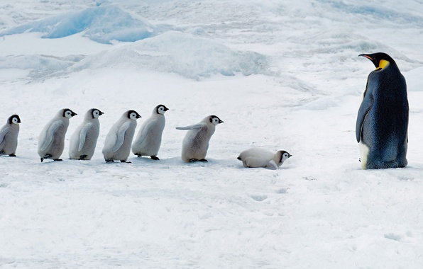 Picture Chicks, Antarctica, Emperor penguin, Snow Hill Island