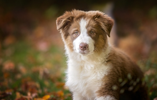 Picture look, dog, puppy, Australian shepherd, Aussie