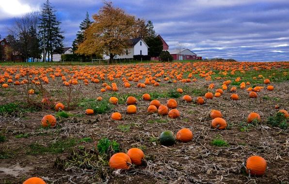 Picture field, autumn, landscape, house, harvest, pumpkin