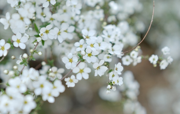 Picture macro, easy, flowers, sprig, plant, branch, petals, small, white, flowering