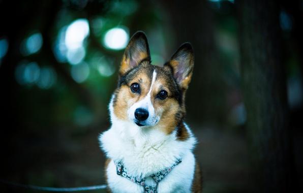 Picture look, each, dog, dog, bokeh, welsh corgi