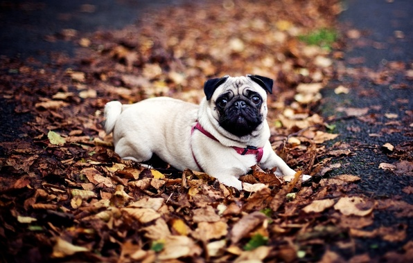 Picture autumn, dog, pug