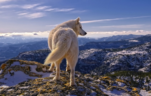 Picture white, the sky, clouds, snow, mountains, stones, wolf