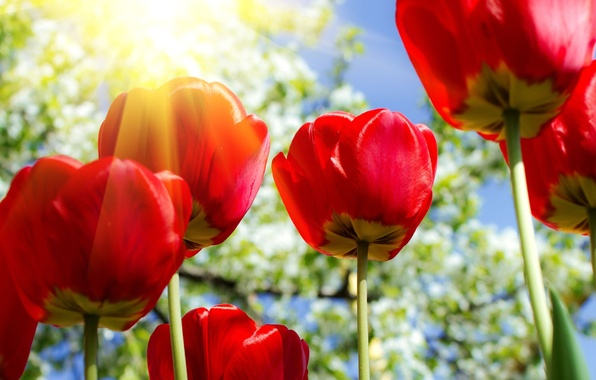 Picture the sun, flowers, tulips