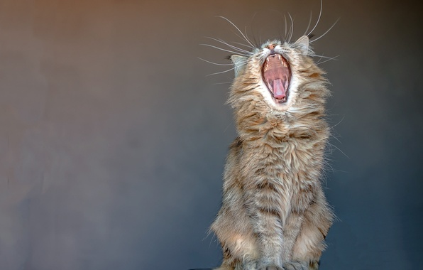 Picture language, cat, mustache, background, mouth, fangs, sitting, yawns