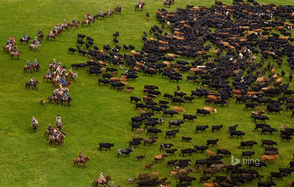 Picture grass, cows, pasture, the herd, Andes, Ecuador