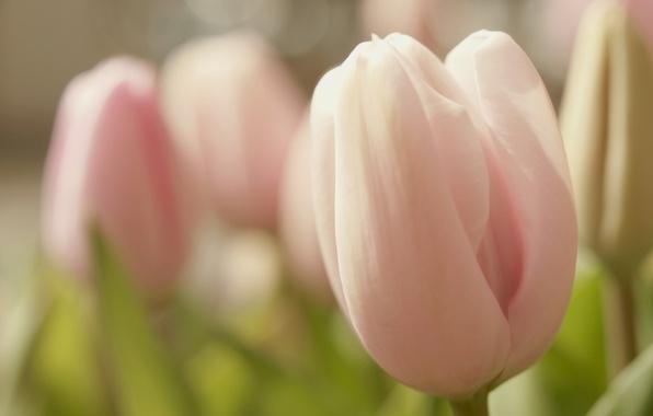 Picture flower, macro, flowers, pink, tenderness, spring, Bud, Tulip