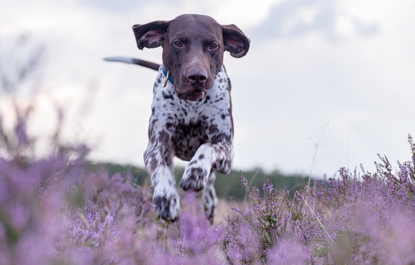 Picture dog, meadow, running, walk, Heather, German pointer, shorthaired pointer, German shorthaired pointer