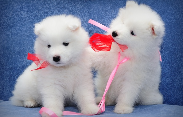 Picture dogs, puppies, kids, a couple, Samoyed