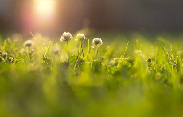 Picture greens, grass, the sun, rays, flowers, background, widescreen, Wallpaper, blur, meadow, wallpaper, flowers, flower, widescreen, …