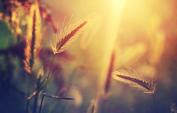 Picture grass, the sun, macro, light, glare, plant, blur, spikelets