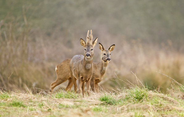Picture grass, background, deer, DOE