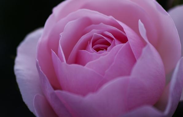 Picture flower, macro, pink, rose, petals, Bud