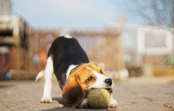 Picture the ball, dog, Beagle