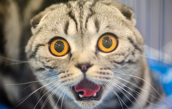 Picture cat, cat, face, fright, horror, eyes