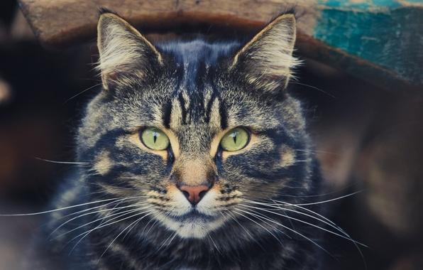Picture eyes, cat, mustache, look, handsome