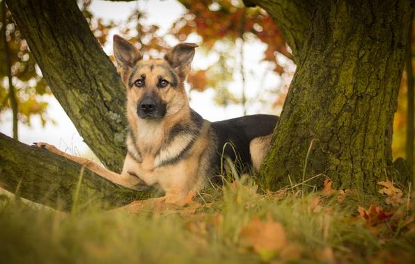 Picture look, leaves, tree, dog, shepherd, German shepherd