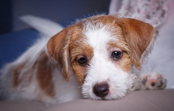 Picture portrait, muzzle, puppy, breed, the Sealyham Terrier
