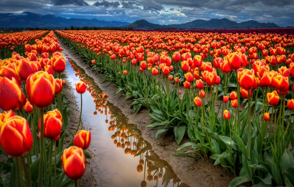 Picture field, the sky, water, clouds, mountains, reflection, spring, tulips, ditch