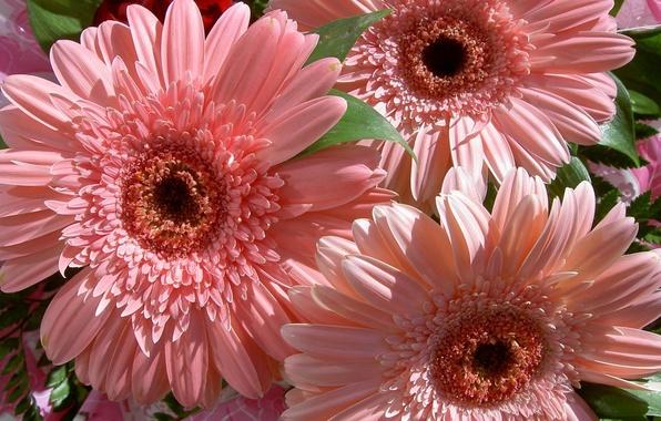 Picture flower, flowers, nature, bouquet, gentle, pink, gerbera, beautiful