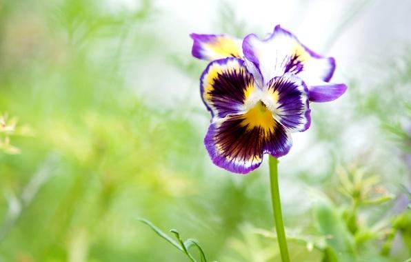 Picture macro, petals, Pansy, viola
