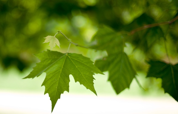 Picture leaves, macro, foliage, branch, spring, green, leaves, bokeh