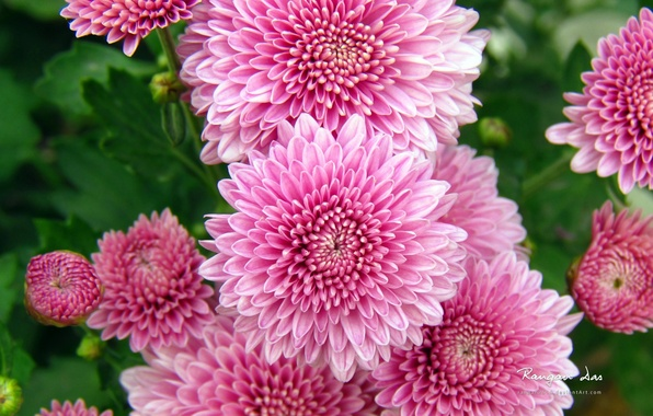 Picture autumn, leaves, flowers, beauty, petals, pink, chrysanthemum, pink, flowers, autumn, leaves, beauty, petals, Chrysanthemum