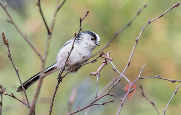 Picture tree, bird, branch, kidney, long-tailed tit