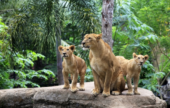 Picture cats, nature, tree, stone, Leo, family, the cubs, lioness