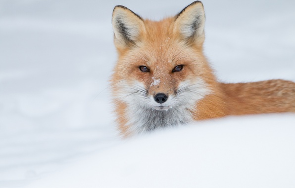 Photo wallpaper face, winter, red, snow, Fox, look
