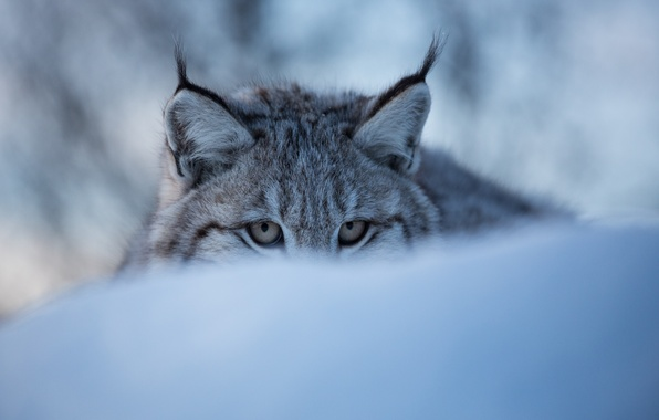Picture winter, eyes, face, snow, lynx, wild cat