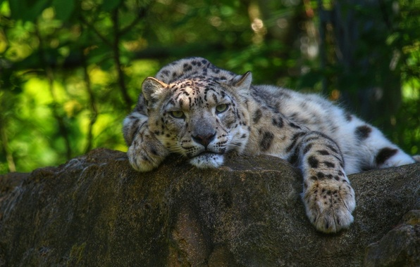 Picture face, stay, predator, paws, IRBIS, snow leopard, wild cat