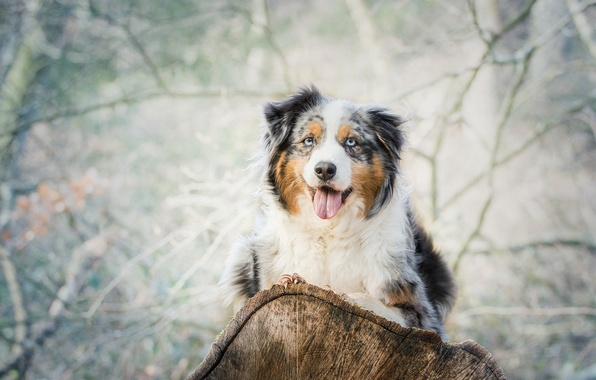 Picture language, look, dog, log, Australian shepherd, Aussie
