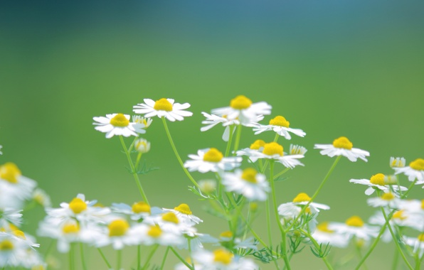 Picture greens, summer, grass, flowers, nature, green, color, Bush, chamomile, plants, white