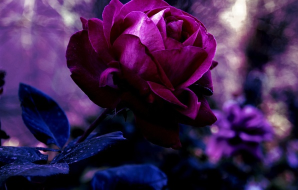 Picture flower, purple, leaves, macro, nature, rose, color, petals, blur, Bud, purple, red, dark