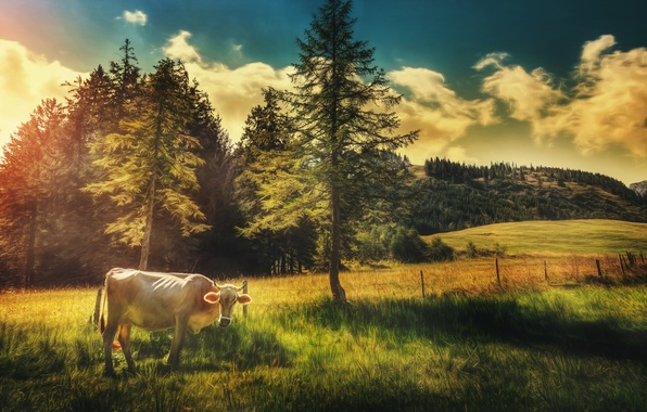 Picture field, the sky, clouds, trees, cow, treatment