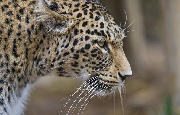 Photo wallpaper cat, leopard, ©Tambako The Jaguar, profile, Persian