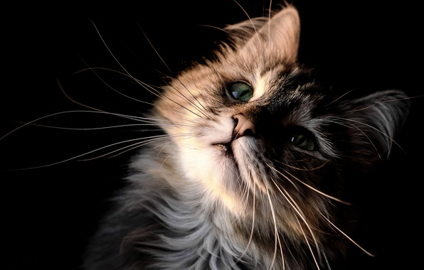 Picture cat, cat, mustache, look, portrait, muzzle, kitty, black background