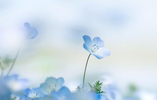 Picture flower, summer, background, petals, flower, Nemophila