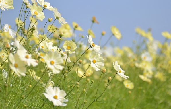 Picture the sky, flowers, stems, petals, buds, field of flowers