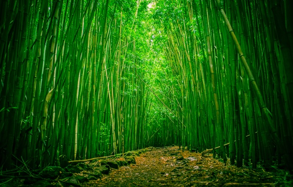 Picture forest, Hawaii, clearing, Maui, bamboo, Haleakala national Park