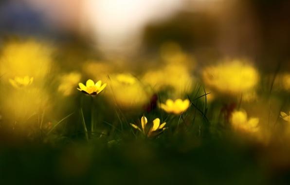 Picture grass, macro, flowers, nature, spring, blur, bokeh, celandine